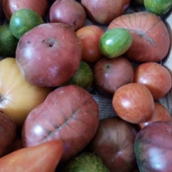 Tomates anciennes plein champ