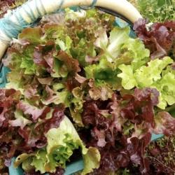Mesclun de salades