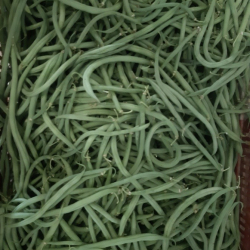 Haricots verts fins Plein champs